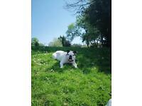 Fantastic English male bulldog