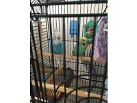 Tame budgies and cage