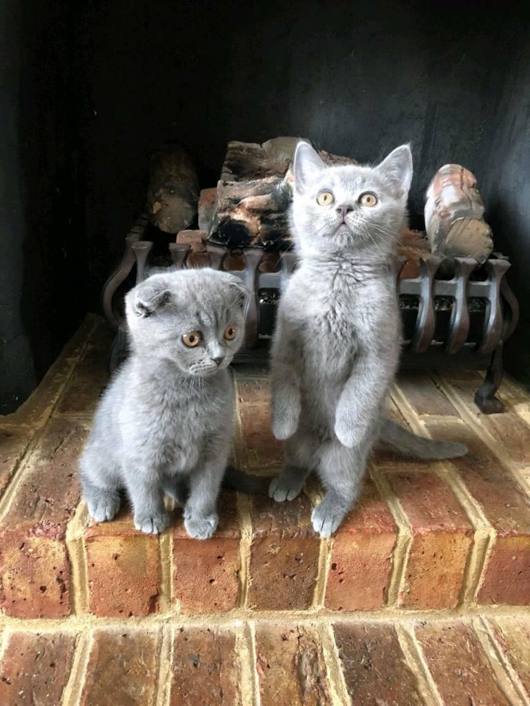 Scottish Kittens For Sale In Bexleyheath London Gumtree