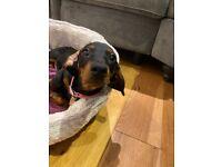 Miniature Dachshund Short Haired Puppy Black and Tan boy