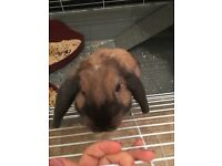 4month old Male mini lop rabbit with cage. Child friendly.