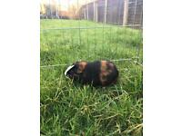 Male and female guinea pig