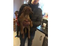 11 week old mastiff cross Alsatian bitch