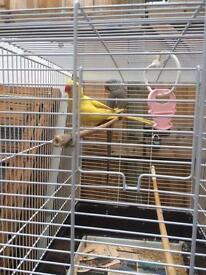 Indian Ringneck Parakeet for sale