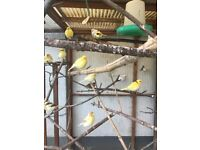 fife canaries for sale in frome