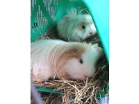 Two guinea pigs, Cage and Accessories