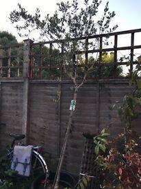 7ft olive tree in pot