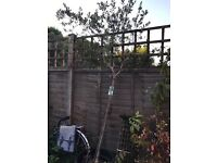 7ft olive tree in pot
