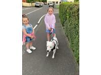 Beautiful staffie Original pups ❤️