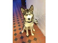 Huskie puppy, 8 months old, great with kids and other dogs. Selling due to no fault of her own.