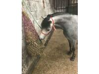 Welsh section A pony for sale