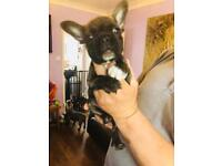Quality French bulldog puppies for sale