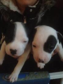 Puppy staffs