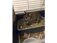 Free Netherland dwarf Female rabbit