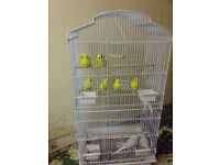 Budgies Birds for sale + Bird cage's