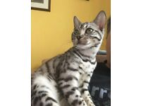Found! 3 year old Silver Spotted Bengal