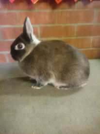 Martin Sable Netherland Dwarf Doe Rabbit