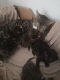 🌟 Adorable part ragdoll kittens
