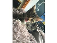 Male Tabby Cat for sale!