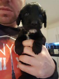 sprocker puppies 1 boy and 4 girls left