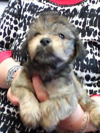 puppies for sale lhaso apso x long haired jackrussell very sweet 3 boys 1 girl