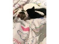 Male kitten/adult