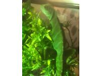 Sensible Offers Please.Chinese Water Dragons and Setup