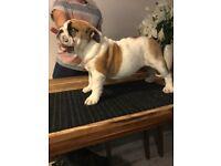 Bulldog pup for sale