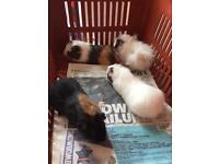 Male guineapigs
