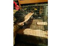 2chinchillas with cage