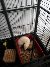 1 male kit 1 female kit ferret