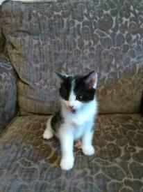 1 kitten for sale