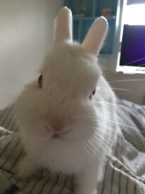 Rabbit needs urgent re - home, such a friendly and lovely toilet trained rabbit