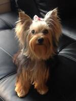 Yorkshire Terrier looking for playdate