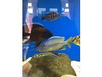 Taeniochromis holotaenia Malawi cichlid