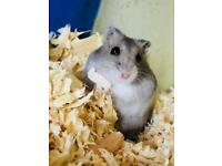 Hamsters for sale