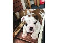 Pedigree English bulldog