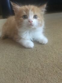 Turkish Angora Kittens for Sale