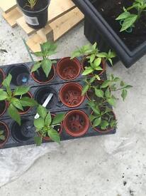Padron Pepper Plants