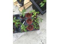 Padron Pepper Plants
