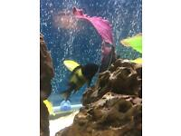 Tropical Fish - Cichlids Tropheus