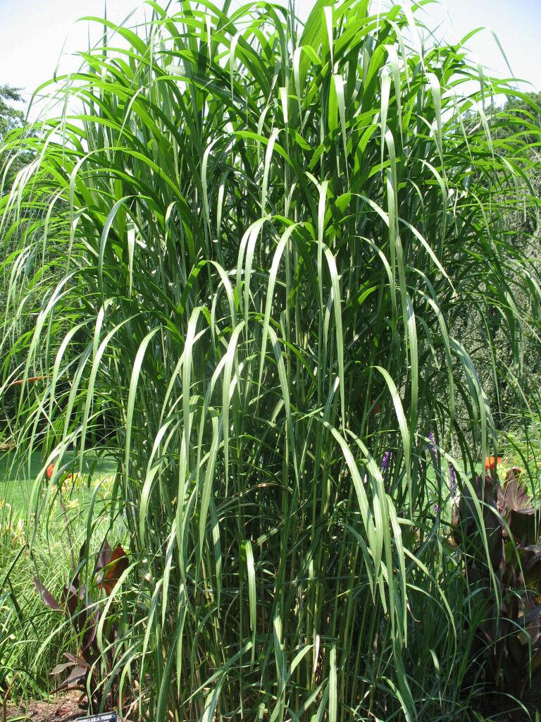 miscanthus floridulus giganteus grass plant in. Black Bedroom Furniture Sets. Home Design Ideas