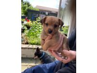 Stunning Jack Russell puppies x5 for sale all boys