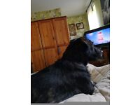 Sharpoo puppy for sale