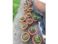 15 arum/peace Lilly plants