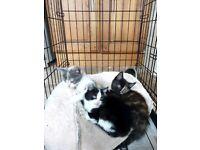 Beautifully marked female kittens (BLACK &WHITE KITTEN ONLY AVAILABLE)
