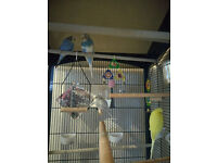 4 Budgies and large Avairy cage
