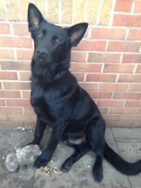 Male black German shepherd-excellent temperament