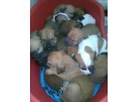 presa canario hybrid puppys for sale