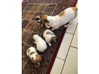 Jack russell in Manchester | Dogs & Puppies for Sale - Gumtree